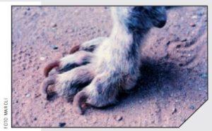 la leishmaniosi del cane