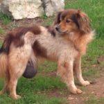 ernia inguinale nel cane