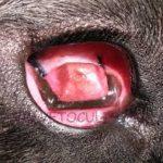 eversione terza palpebra cane